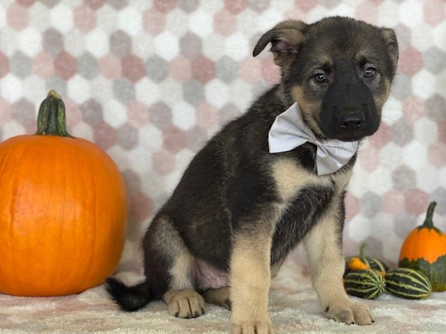 Hooch - German Shepherd/Elkhound mix puppie for sale near Paradise, Pennsylvania