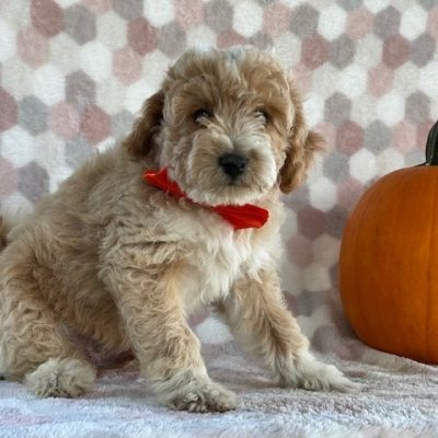 Corbin - Bichpoo puppie for sale in Paradise, Pennsylvania