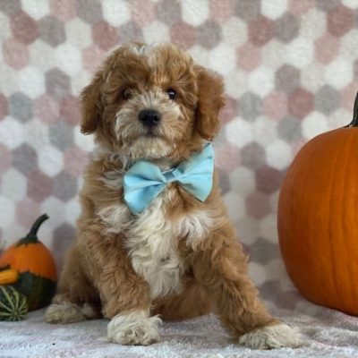 Reese - Bichpoo doggie for sale at Paradise, Pennsylvania