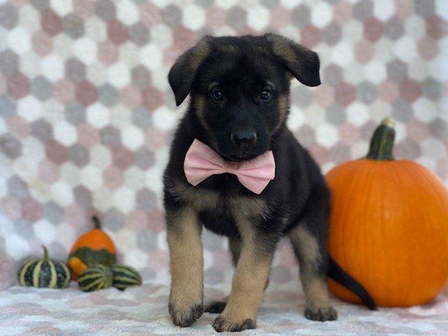 Dakota - German Shepherd pupper for sale near Honeybrook, Pennsylvania