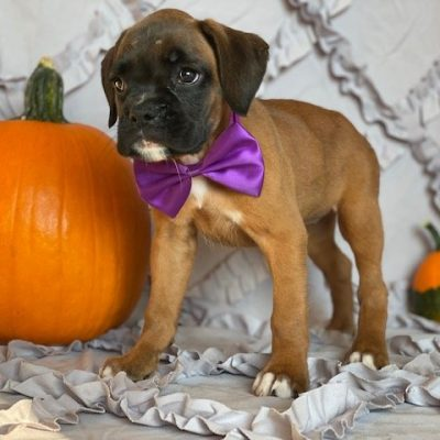 Zoey - AKC boxer pup for sale near Narvon, Pennsylvania