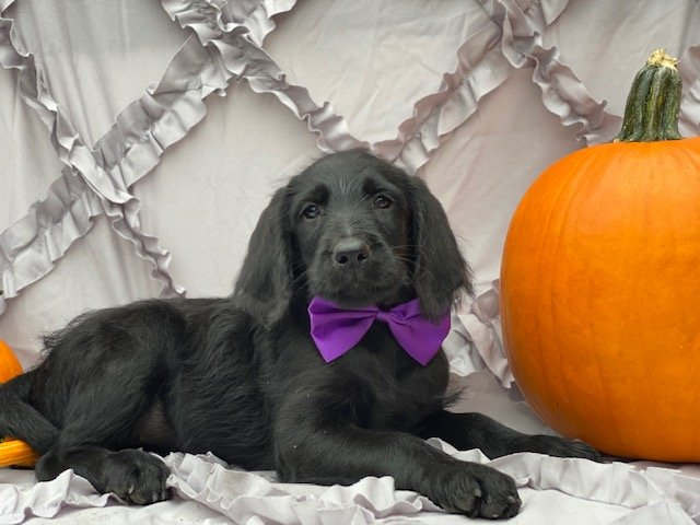 Ivy - F1 mini Labradoodle pup for sale in Oxford, Pennsylvania