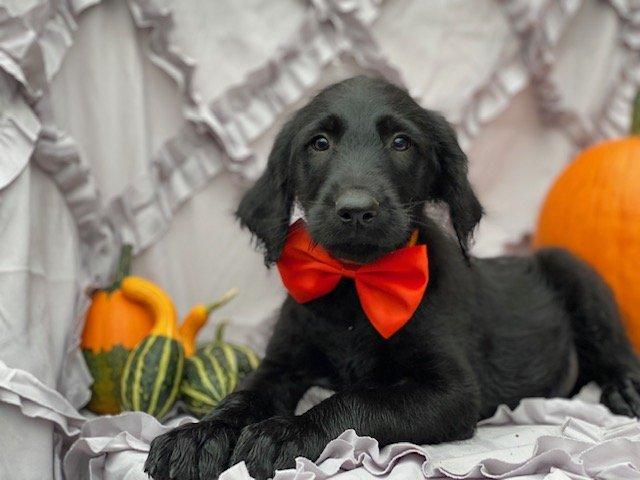 Elvis - F1 mini Labradoodle male puppy for sale near Oxford, Pennsylvania