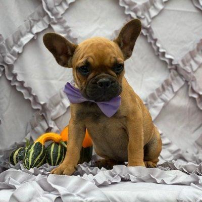 Maisie- French Bulldog doggie for sale at Oxford, Pennsylvania