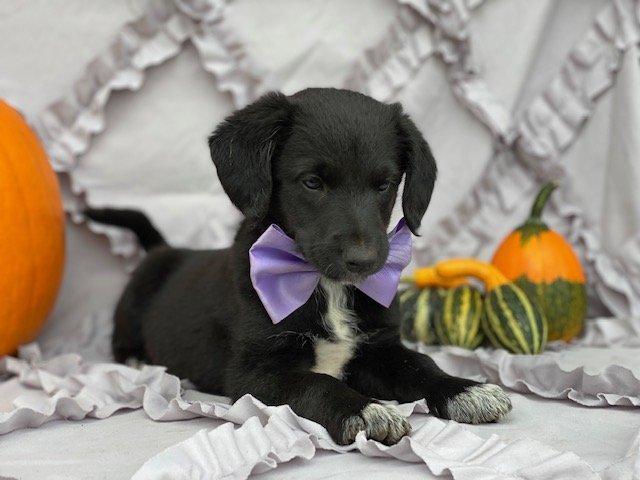 Juli - Mini Labradoodle mix puppie for sale near Kirkwood, Pennsylvania