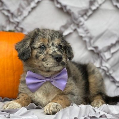 Molly - Mini Labradoodle mix puppy for sale at Kirkwood, Pennsylvania