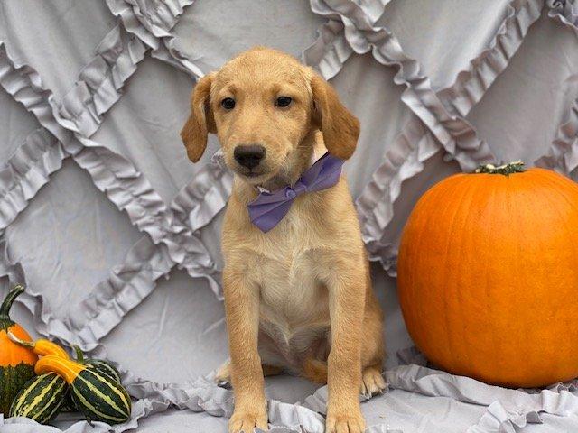 Brandy - male Mini Double Doodle doggie for sale near Nottingham, Pennsylvania