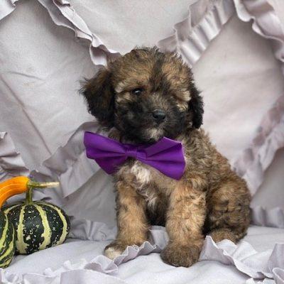 Pixie - Cavapoo pup for sale near Peachbottom , Pennsylvania