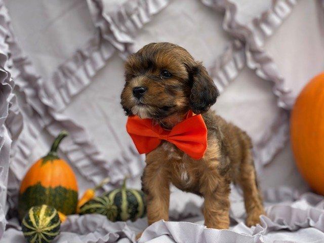Romper - Cavapoo pup for sale near Peachbottom , Pennsylvania