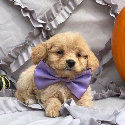 Glory - Cavapoo pup for sale near Peachbottom , Pennsylvania