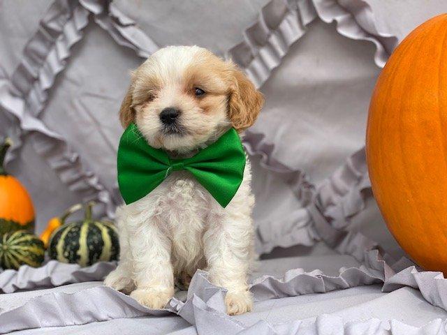 Jax - Cavapoo pup for sale near Peachbottom , Pennsylvania