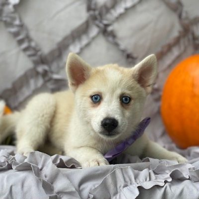 Raina - female Shiba Inu/Pomsky Mix puppie for sale near Narvon, Pennsylvania