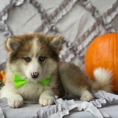 Alex - Shiba Inu/Pomsky Mix male puppie for sale near Narvon, Pennsylvania