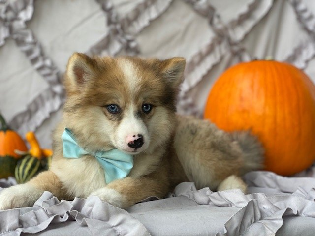 Jack - Shiba Inu/Pomsky Mix pup for sale in Narvon, Pennsylvania