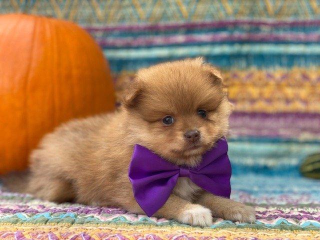 Fluffy - Pomeranian puppy for sale at Landenberg, Pennsylvania