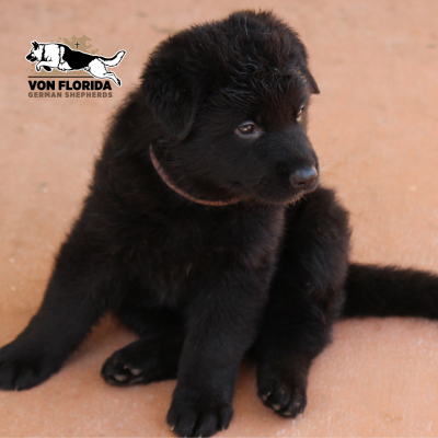 Bella - AKC German Shepherd pupper for sale in Miami, Florida