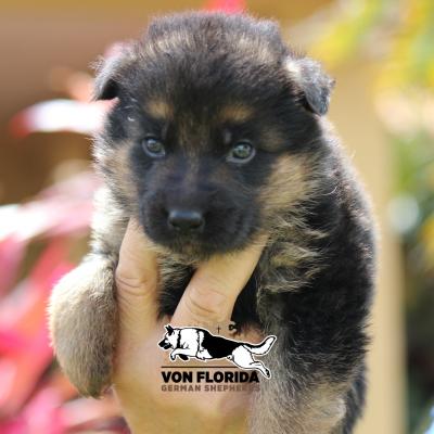 Luna - AKC German Shepherd puppy for sale at Miami, Florida