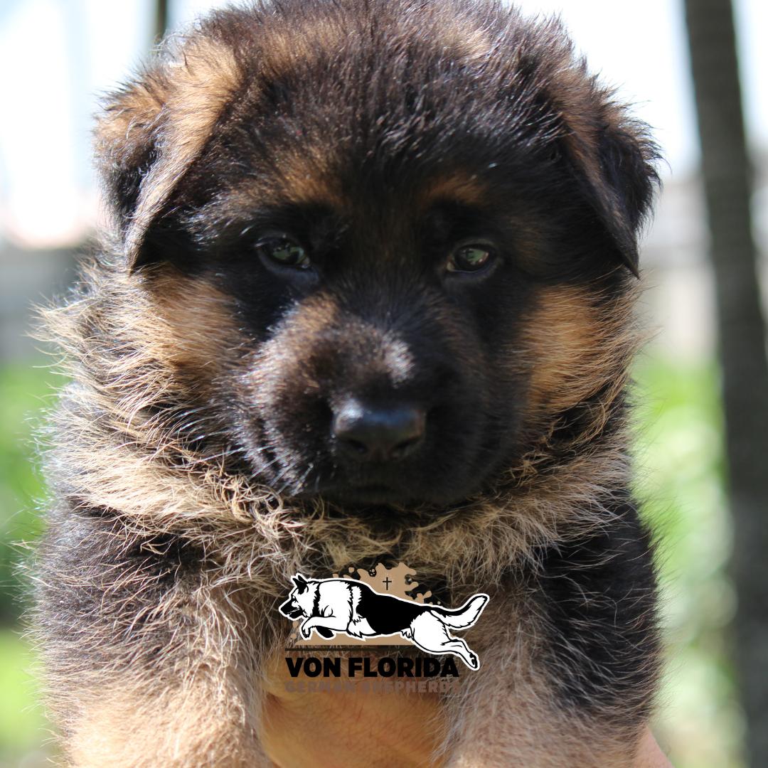 Duke - AKC German Shepherd pup for sale near Miami, Florida