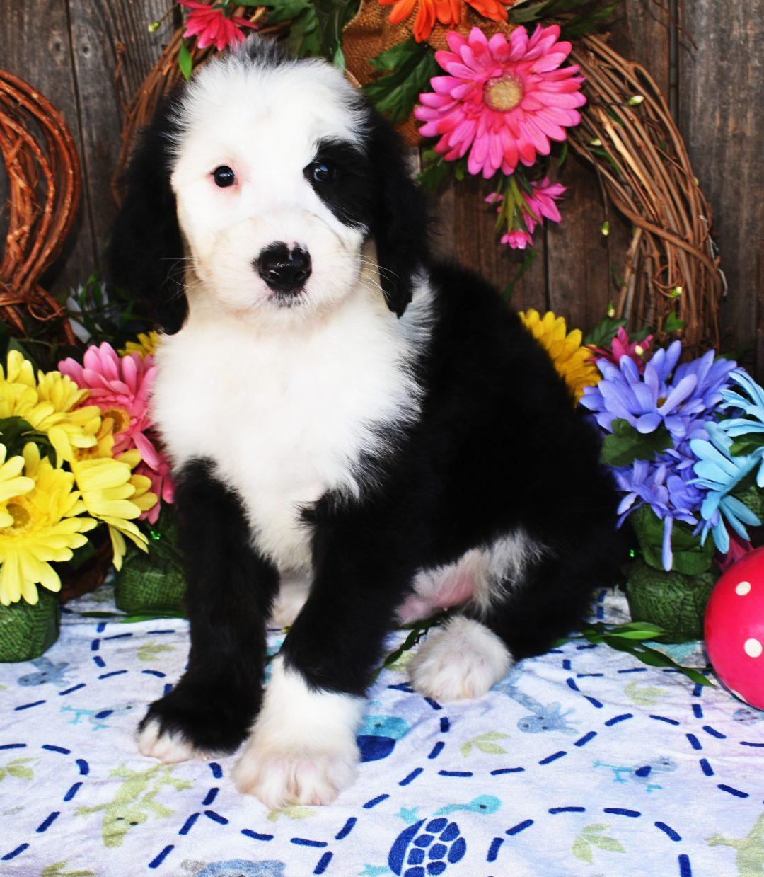 Colt - ACA Sheepadoodle pup for sale