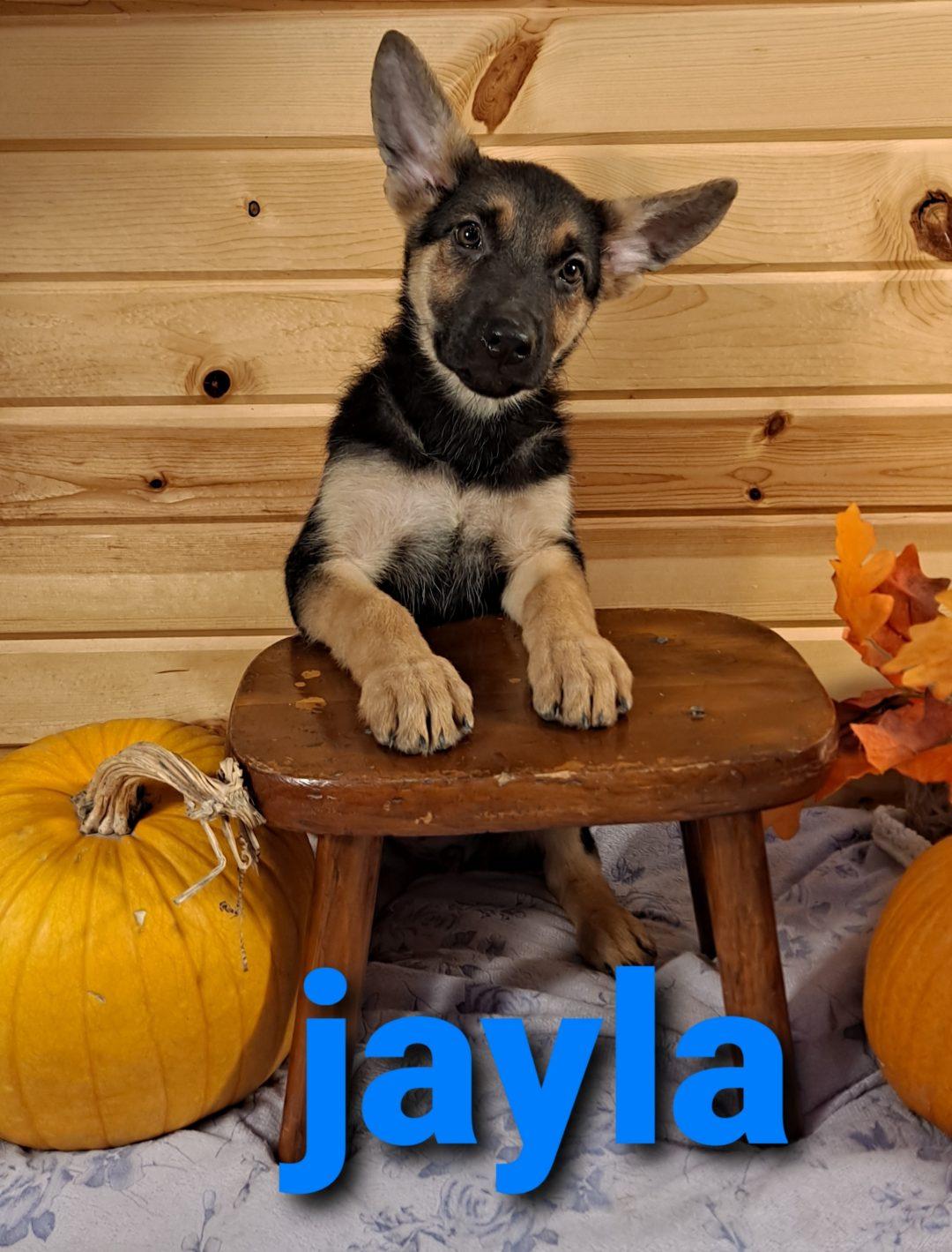 Jayla - AKC German Shepherd puppy for sale in Grabill, Indiana