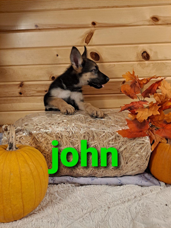 Jon - AKC German Shepherd male pup for sale at Grabill, Indiana