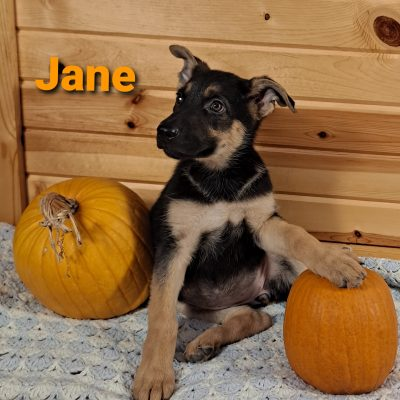 Jane - AKC German Shepherd female pupper for sale near Grabill, Indiana
