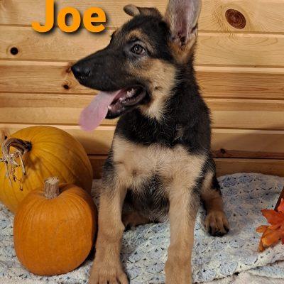 Joe - AKC German Shepherd female puppie for sale in Grabill, Indiana