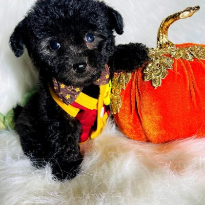 BabyBoo - Maltipoo male puppy for sale in Houston, Texas