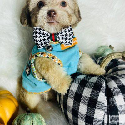 BabyCandy, Adorable Brindle Male Maltipoo Ready!