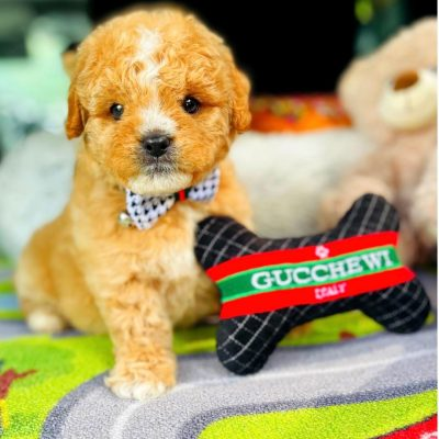 BabyGinger - Maltipoo male pup for sale at Houston, Texas