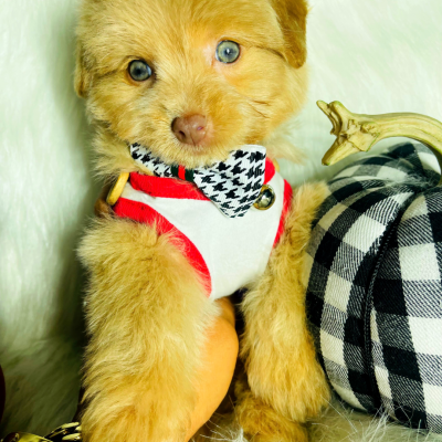 Baby Honey, Adorable Apricot Male Maltipoo Ready!