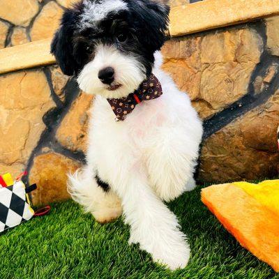 BabyOreo, Adorable Parti male Maltipoo Puppy!