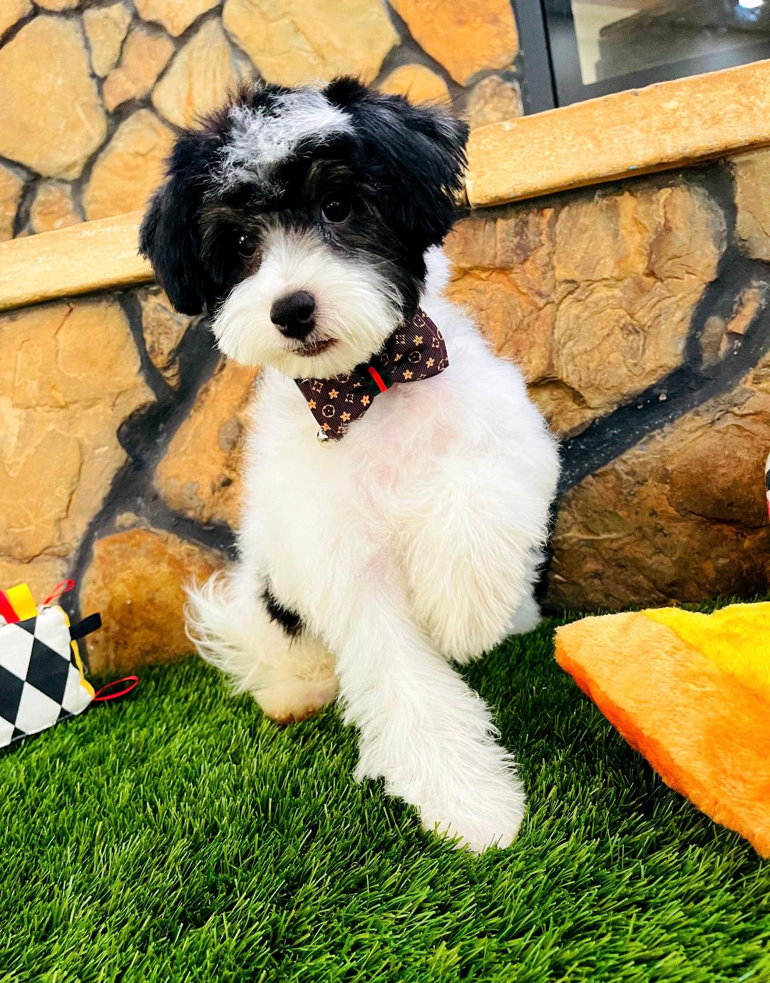 BabyOreo - Maltipoo male puppy for sale near Houston, Texas