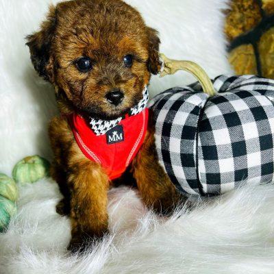 PumpkinBear - male Maltipoo doggie for sale near Houston, Texas