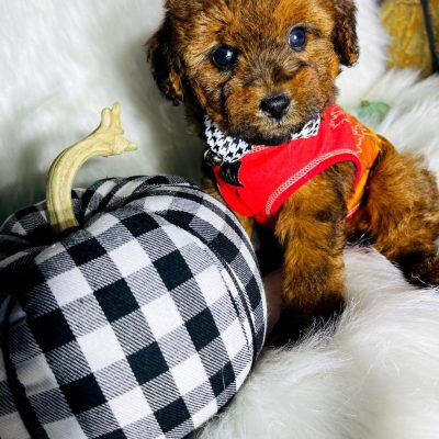 BabyPumpkin - Maltipoo male pupper for sale at Houston, Texas