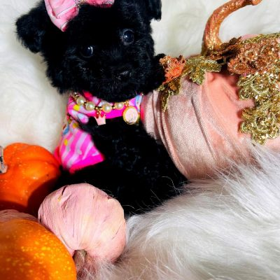 CandyGirl - Maltipoo female pup for sale in Houston, Texas
