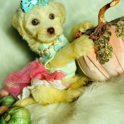 RoseMary - Maltipoo female puppie for sale in Houston, Texas
