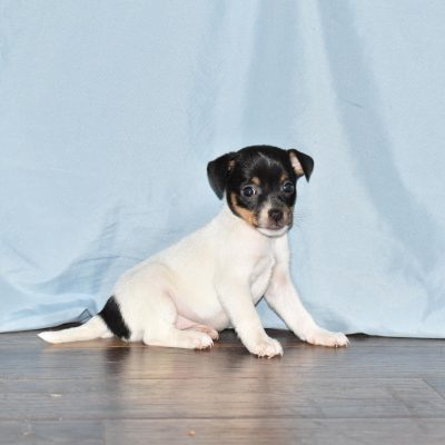 Dasher - Rat Terrier male doggie for sale in Goshen, Indiana