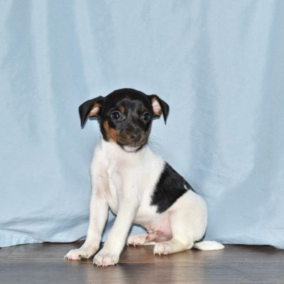 Radar - Rat Terrier male pup for sale at Goshen, Indiana
