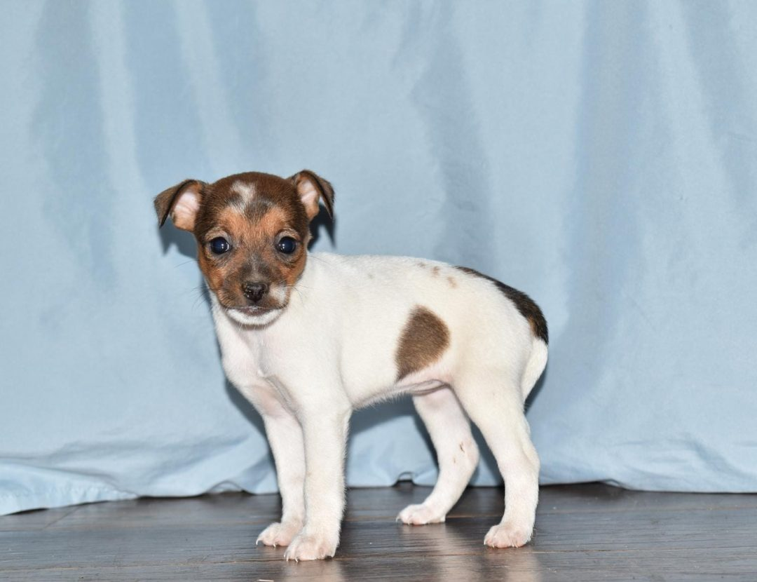 Josey - Rat Terrier female pup for sale at Goshen, Indiana