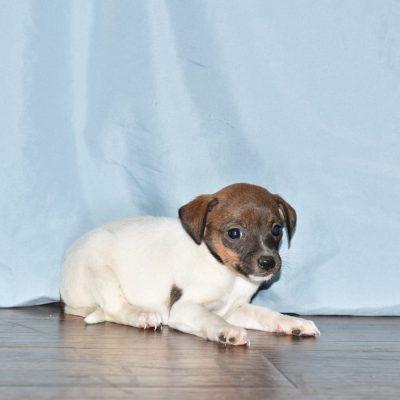 Mistty - Rat Terrier female puppy for sale in Goshen, Indiana