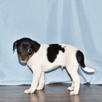 Frisky - Rat Terrier female pupper for sale near Goshen, Indiana