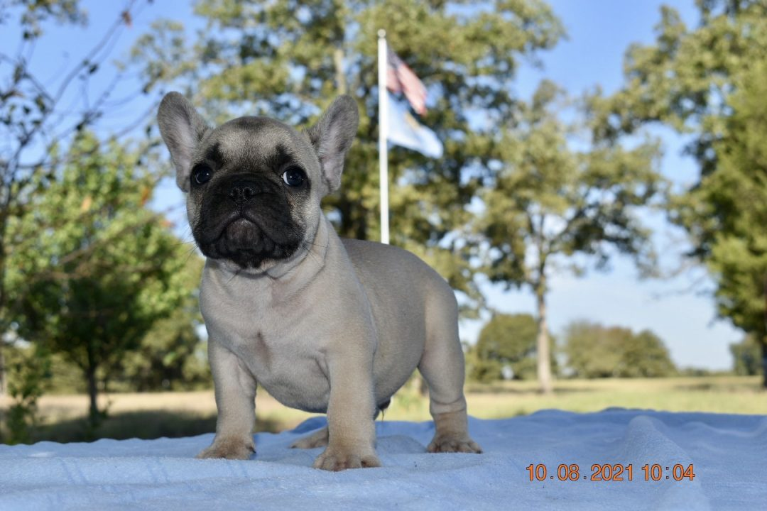 Elvis - AKC French Bulldog male pupper for sale at Coleman, Oklahoma