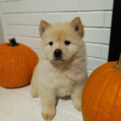 Amy - CKC Chow-Chow female pupper for sale in Chantilly, Virginia