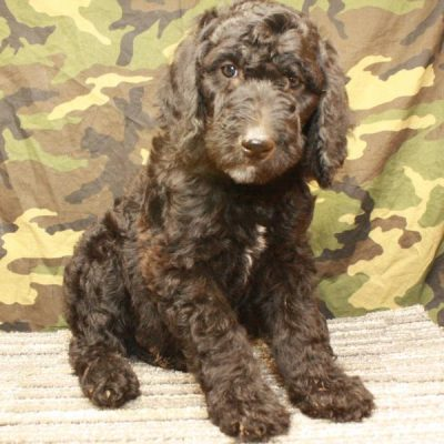 Labradoodle - Fb1 Labradoodle female puppie for sale at Shawnee, Oklahoma