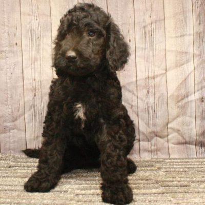 Labradoodle - Fb1 Labradoodle female doggie for sale near Shawnee, Oklahoma