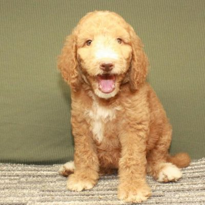 Labradoodle - Fb1 Labradoodle puppy for sale at Shawnee, Oklahoma