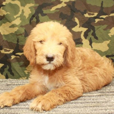 Labradoodle - male Fb1 Labradoodle pupper for sale in Shawnee, Oklahoma
