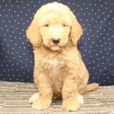 Labradoodle - Fb1 Labradoodle pup for sale near Shawnee, Oklahoma