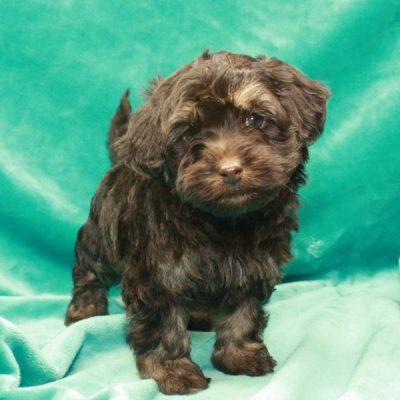HavaPoo - pup Havapoo for sale at Shawnee, Oklahoma